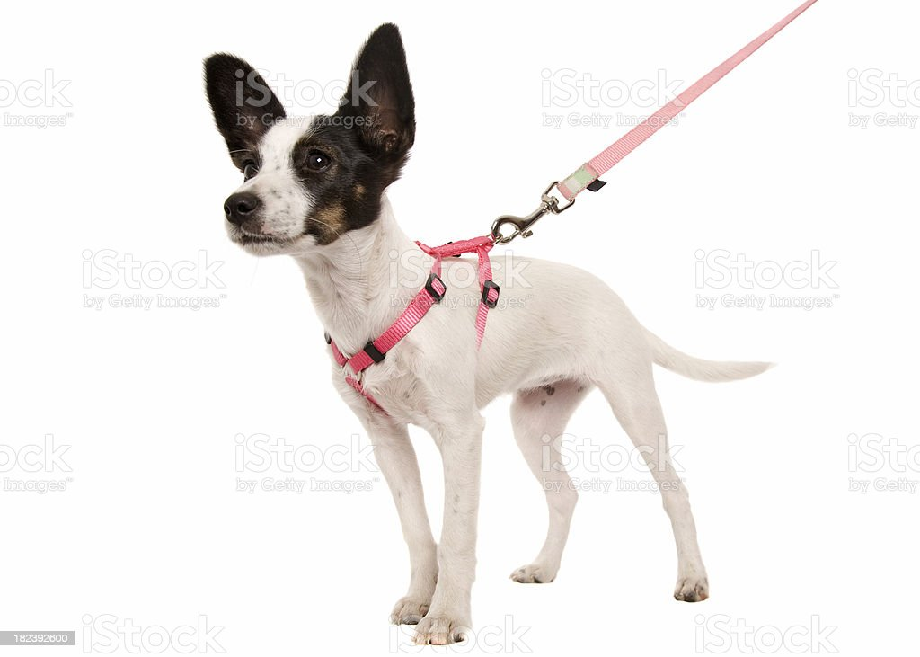 Puppy On A Lead stock photo