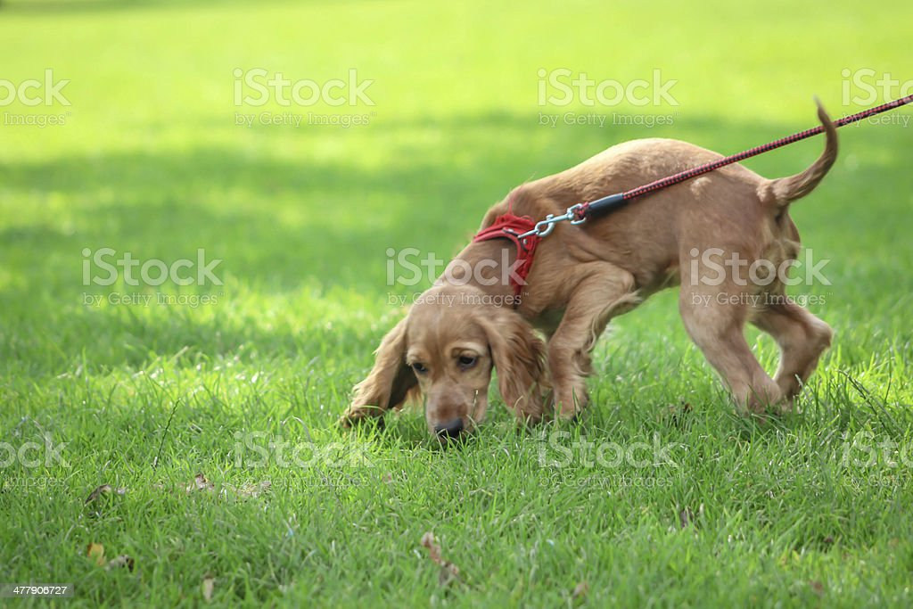 Puppy on a leash stock photo