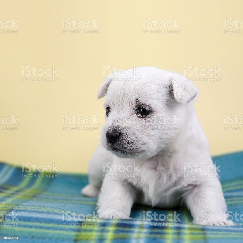 Puppy on a plaid royalty-free stock photo