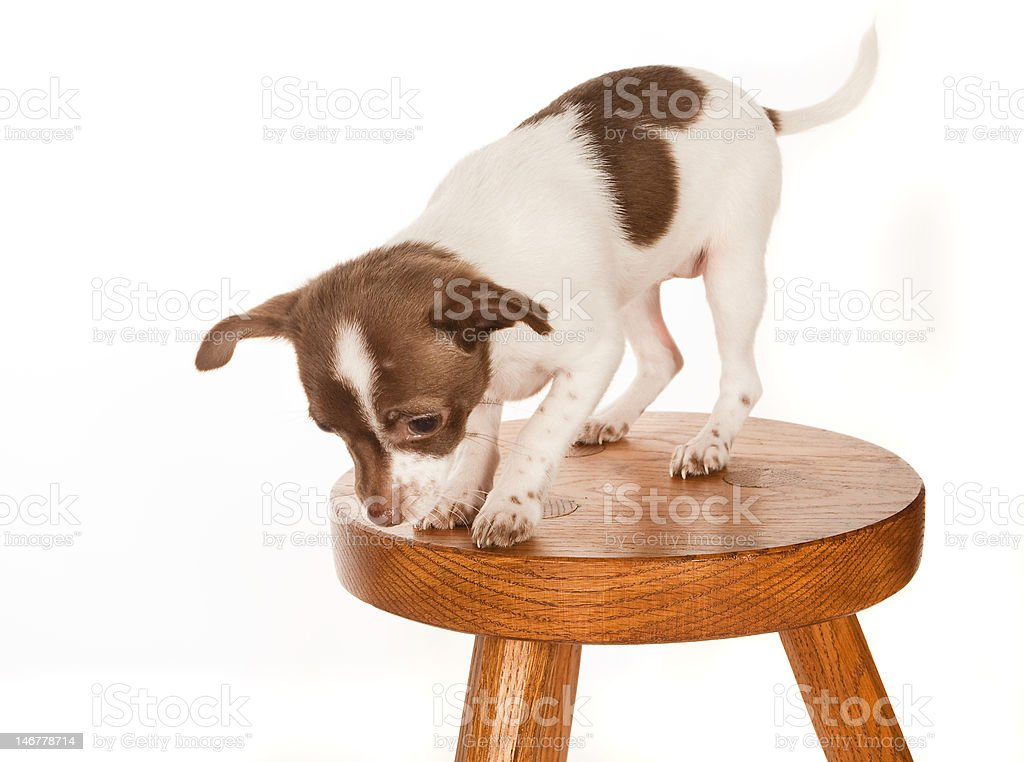 Puppy on a stool royalty-free stock photo