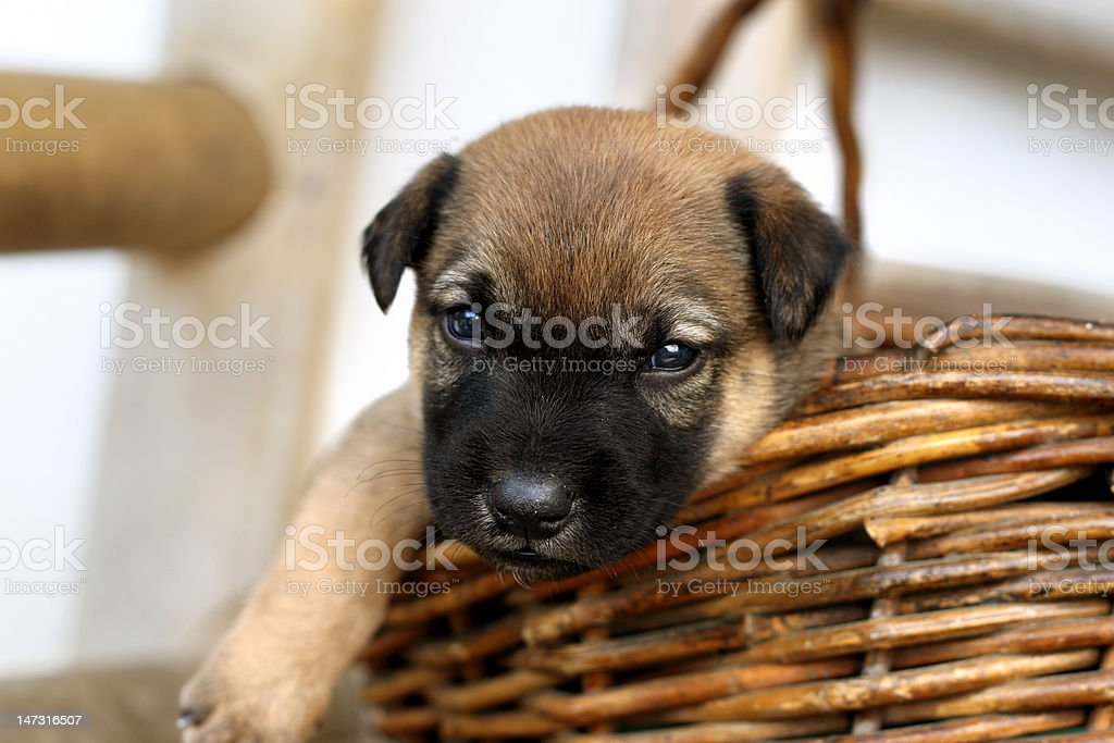 Puppy on basket royalty-free stock photo