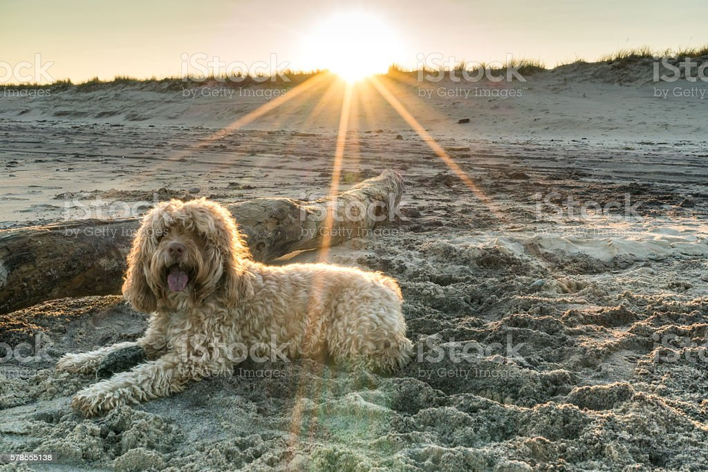 Puppy on Beach at Sunset stock photo