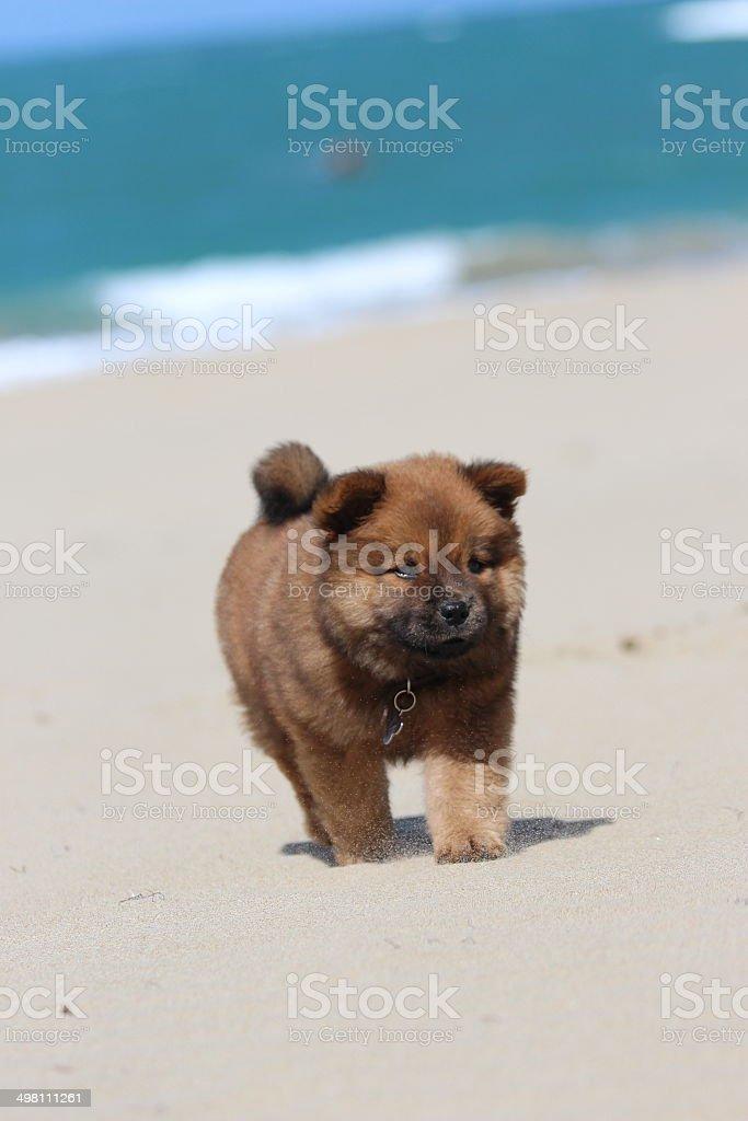 Puppy on Beach stock photo