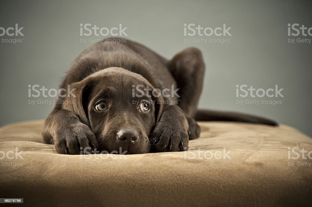 Puppy on ottoman stock photo
