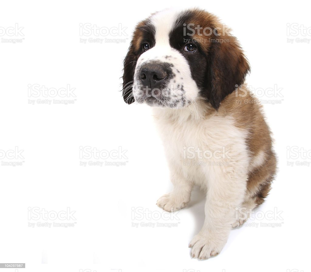 Puppy on White Background Sitting Sideways royalty-free stock photo