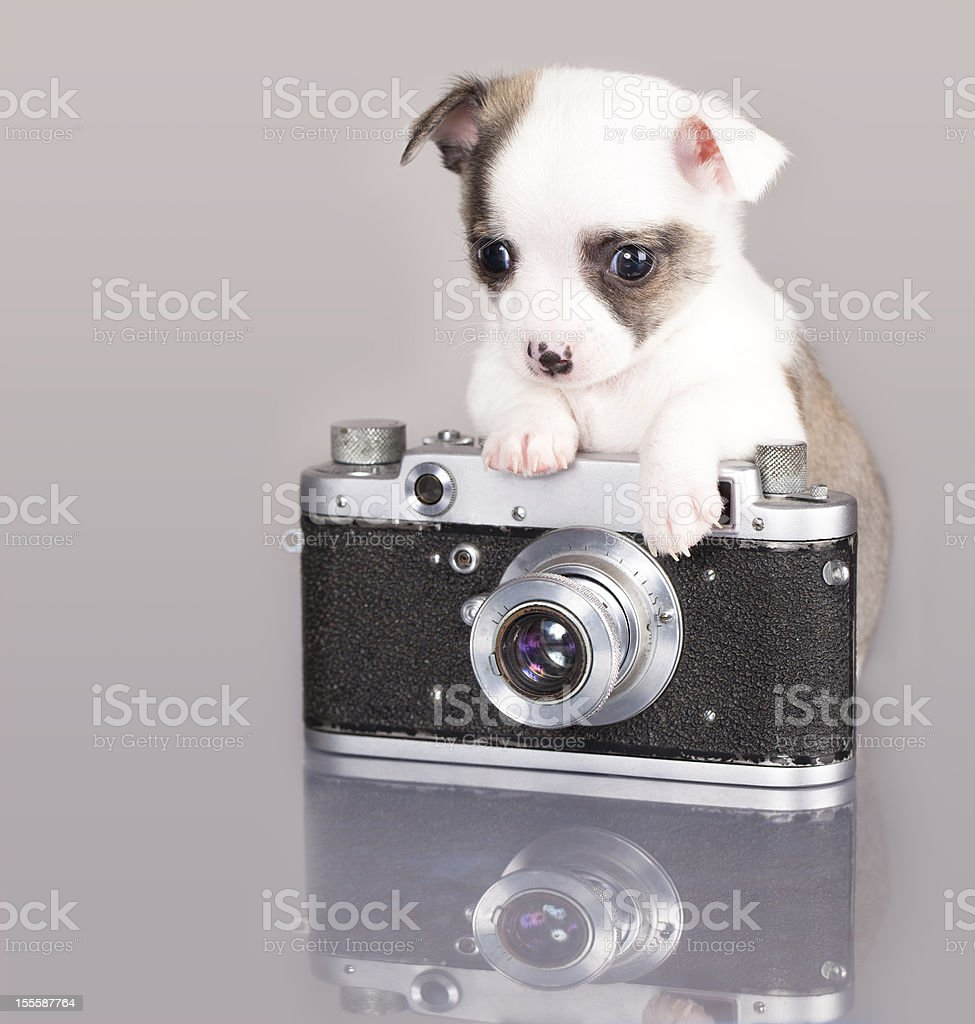 puppy photographer Chihuahua royalty-free stock photo
