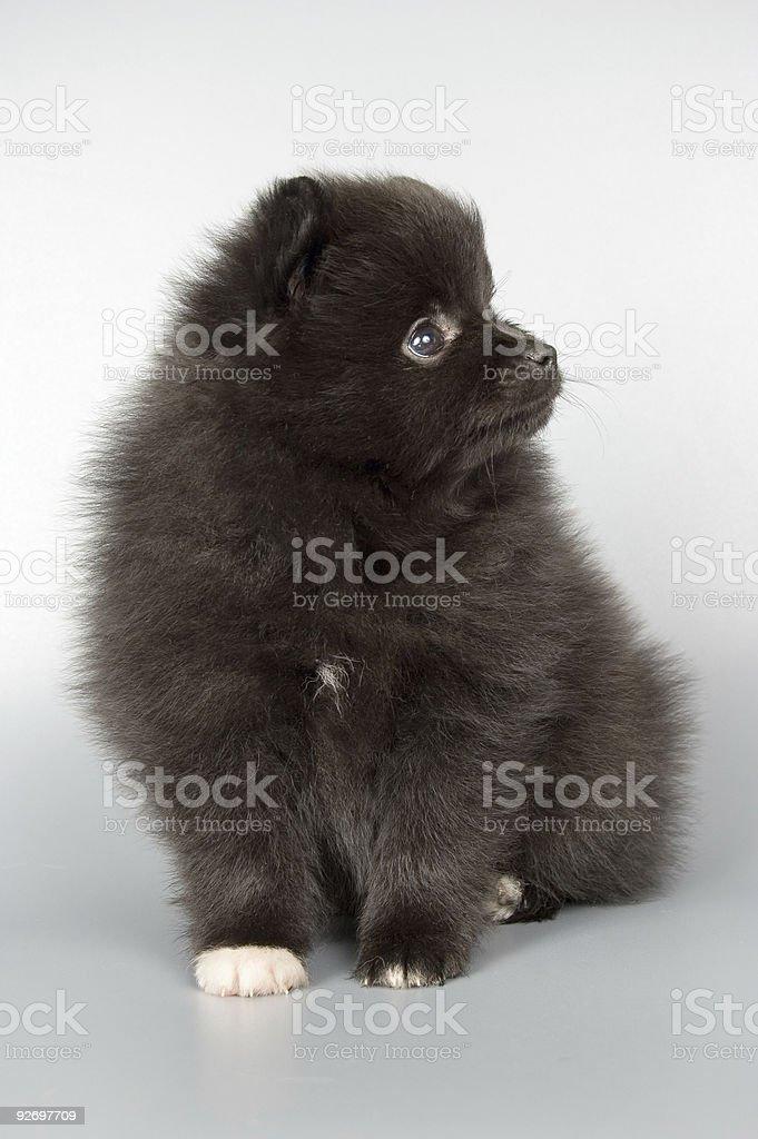 puppy; royalty-free stock photo