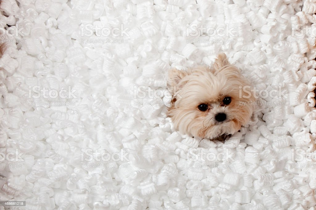 Puppy playing in packing peanuts stock photo
