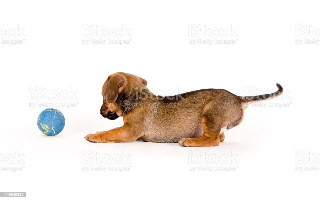 Puppy playing with a blue ball on a white background royalty-free stock photo