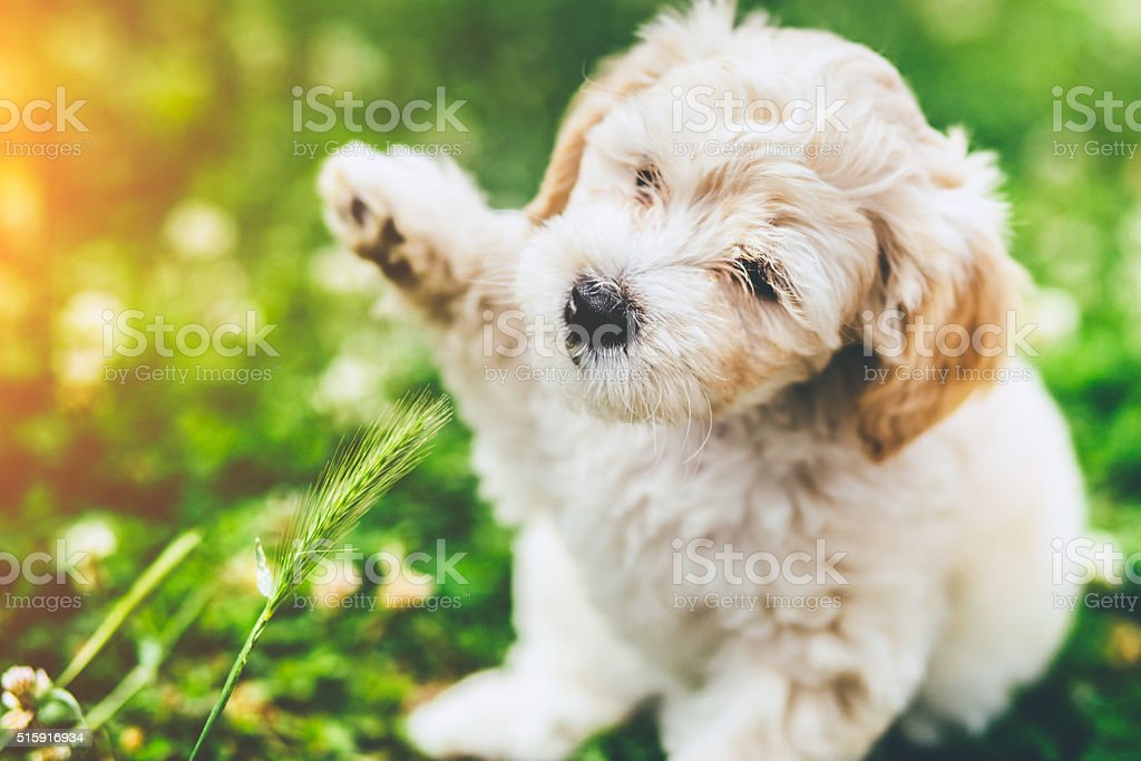 Puppy playing with a grass stock photo