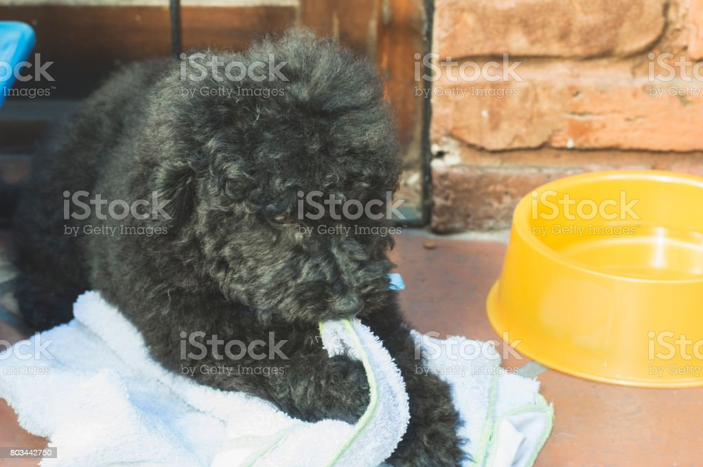 A  puppy playing with a towel stock photo