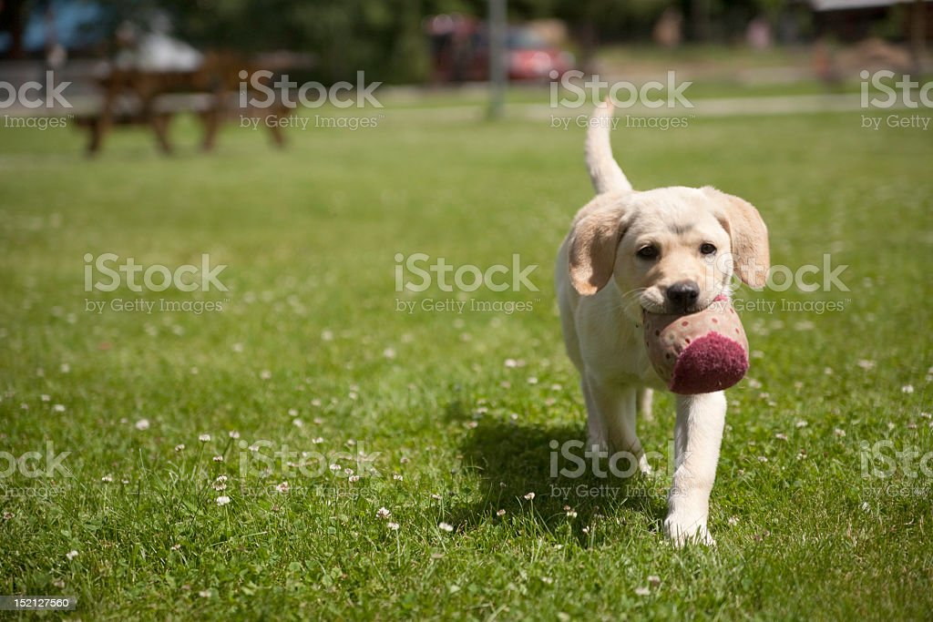 Puppy playing with ball stock photo