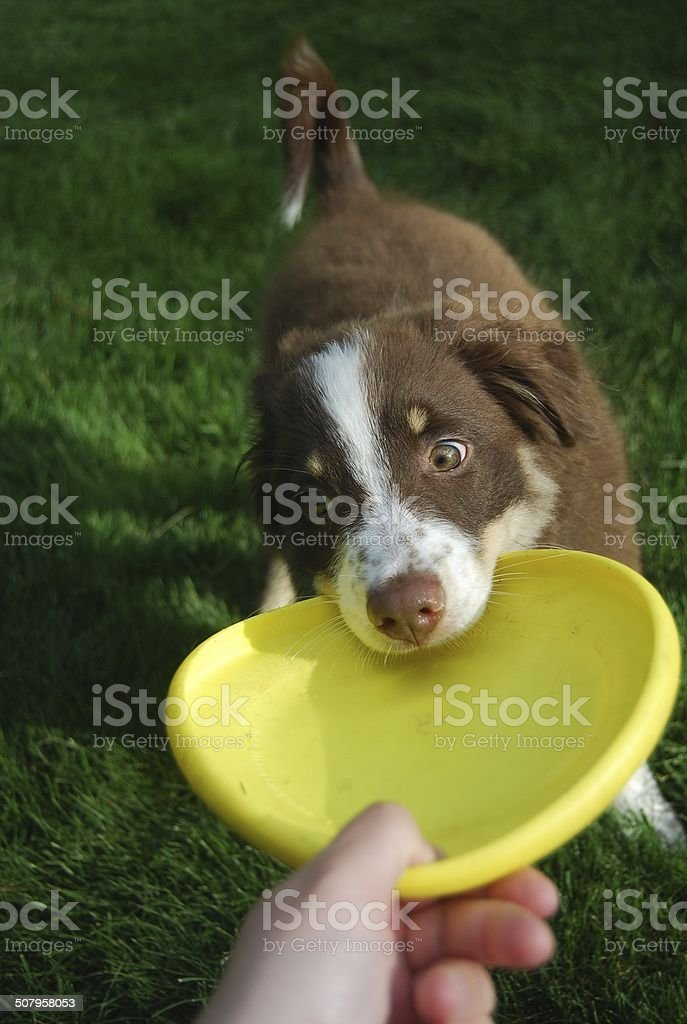Puppy Playing with Flying Disc stock photo