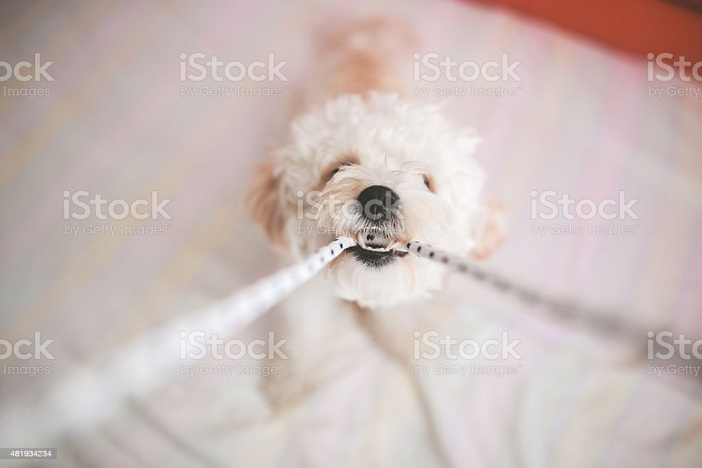 Puppy playing with rope stock photo