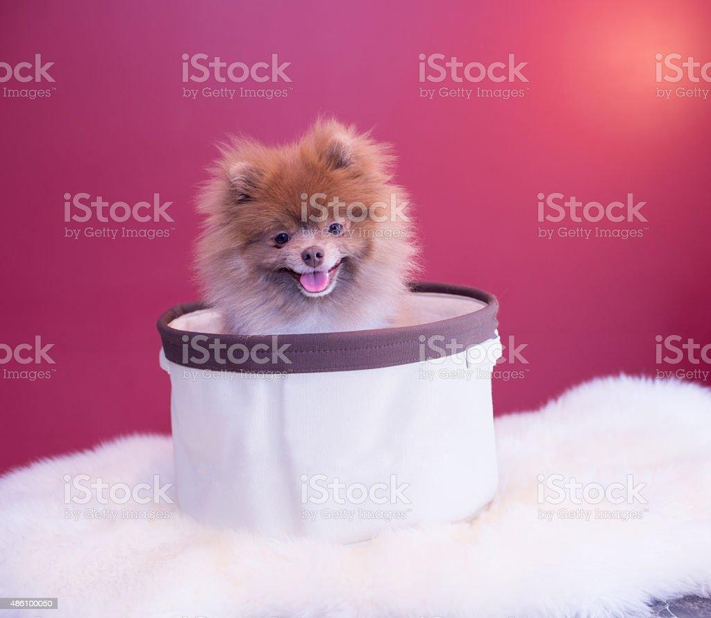 Puppy Pomeranian stock photo