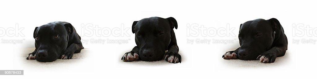 Puppy Portraits royalty-free stock photo