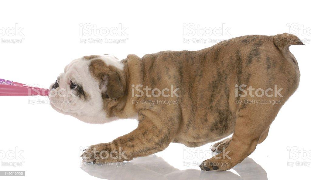 puppy pulling stock photo