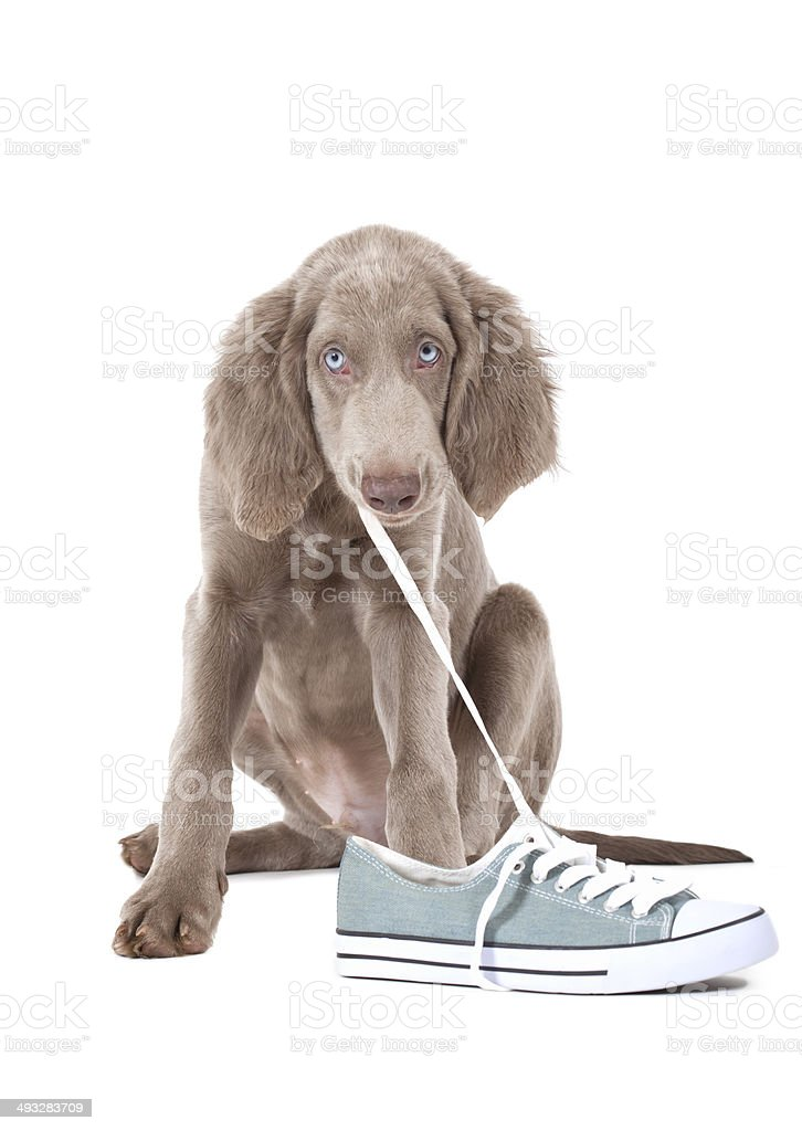 Puppy pulling shoe lace stock photo