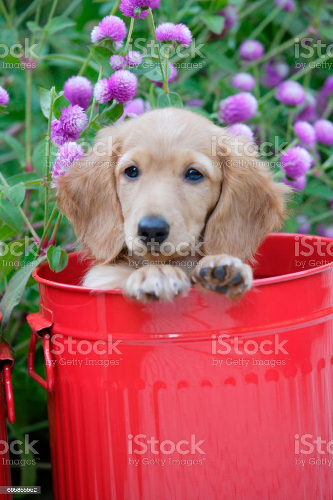 Puppy red cans and 千日紅 stock photo