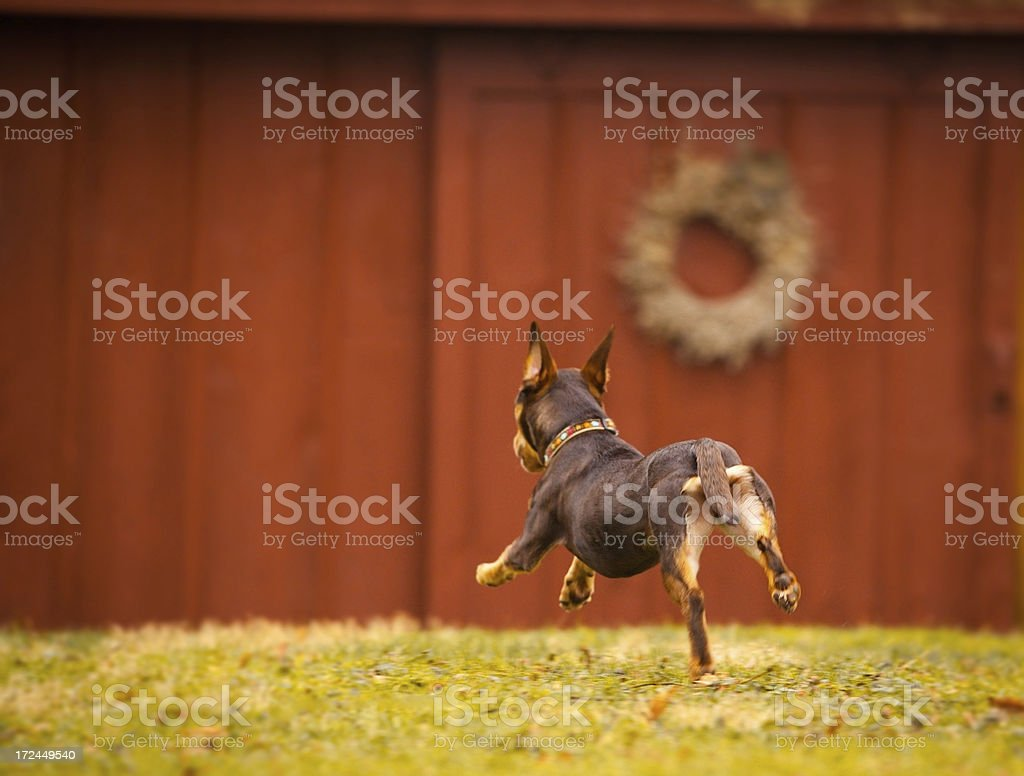 Puppy Running Fom Behind royalty-free stock photo