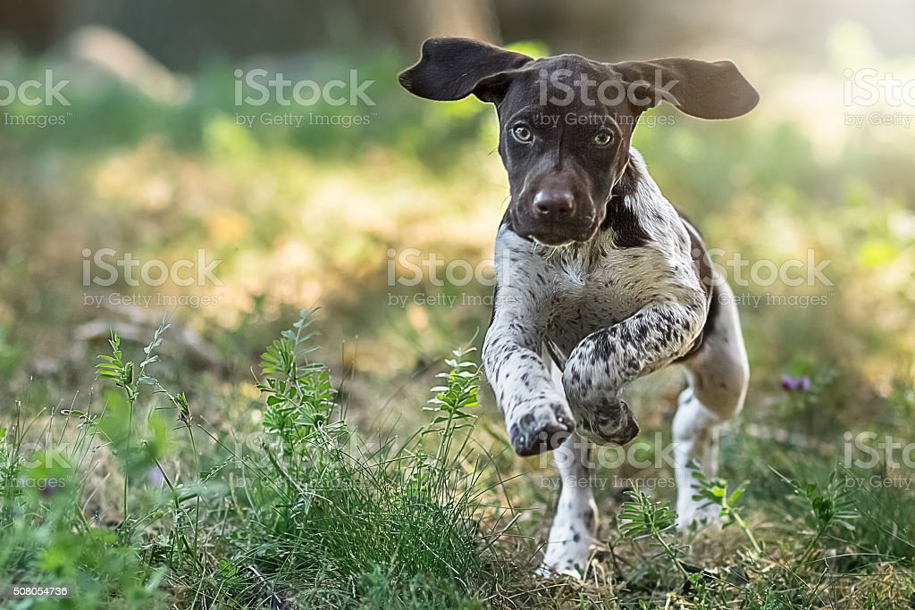 Puppy Running Towards The Camera stock photo
