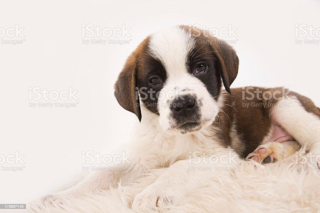 Puppy Saint Bernard royalty-free stock photo