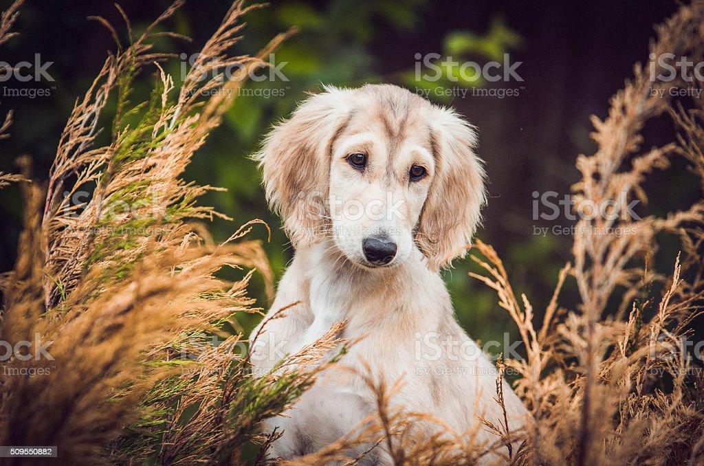 Puppy Saluki royalty-free stock photo