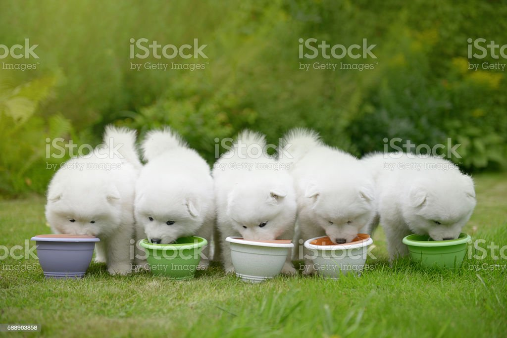 puppy Samoyed dog eating food from a bowl stock photo