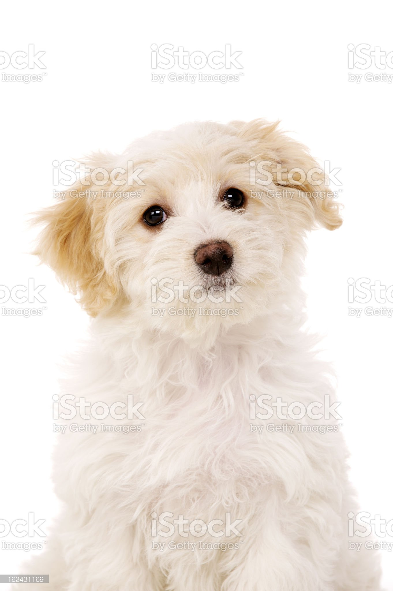 Puppy sat isolated on a white background royalty-free stock photo