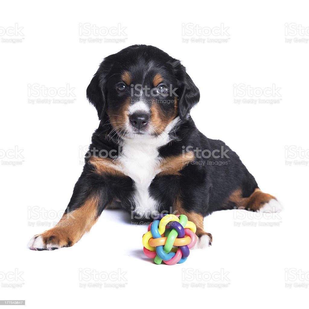 Puppy sennenhund, one months, isolated on white royalty-free stock photo