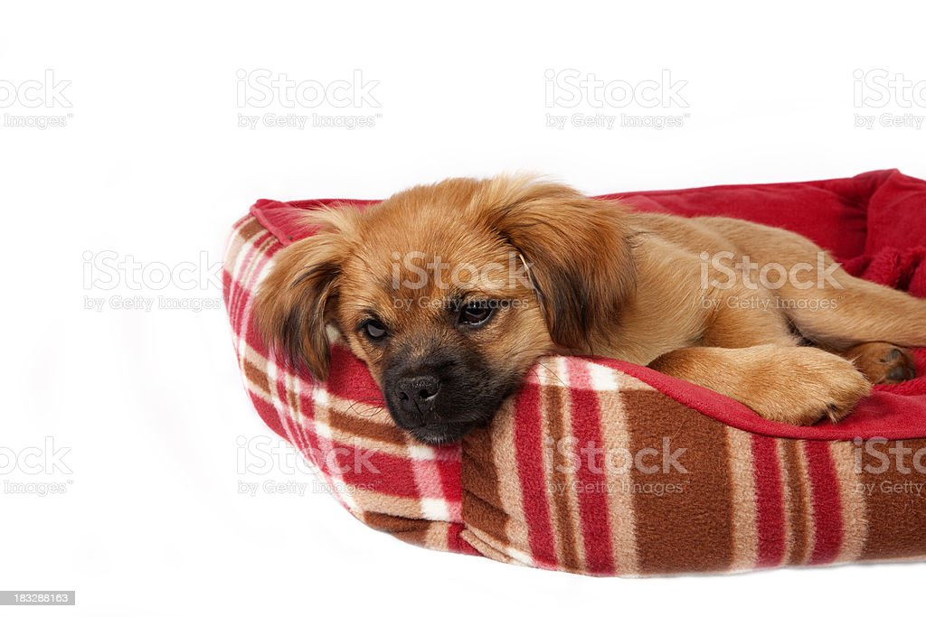 Puppy Series royalty-free stock photo