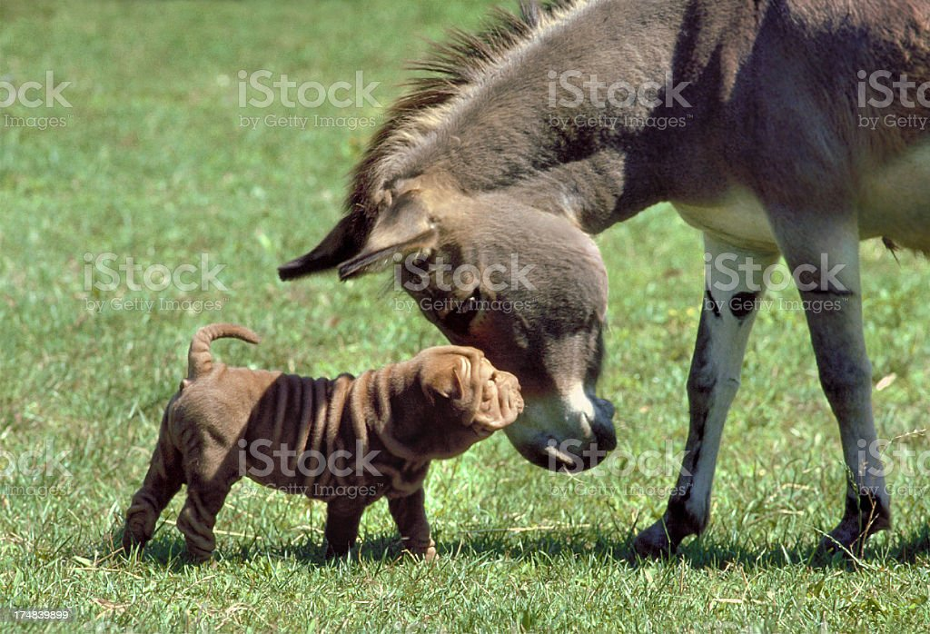 Puppy Shar Pei dog with a donkey in a meadow royalty-free stock photo