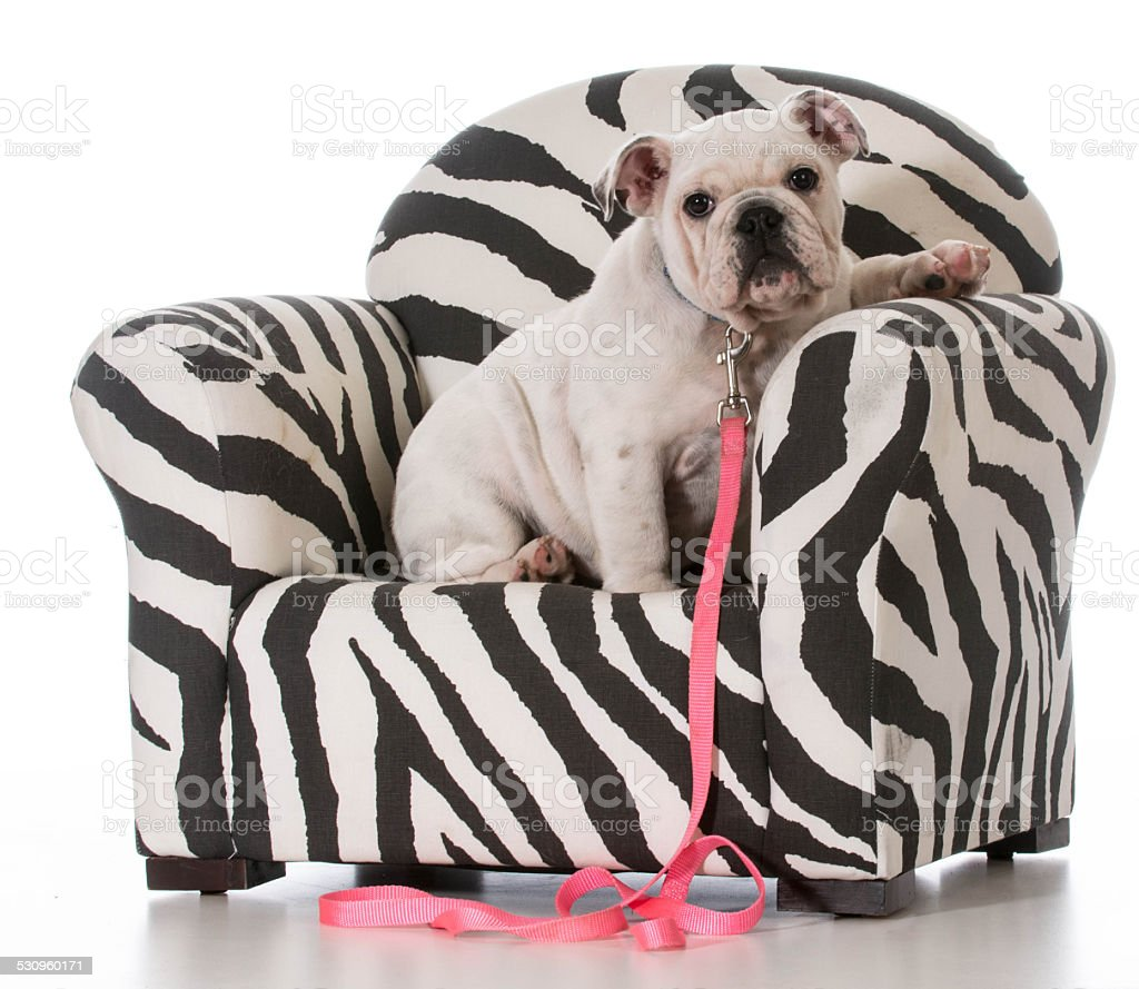 puppy sitting in chair stock photo