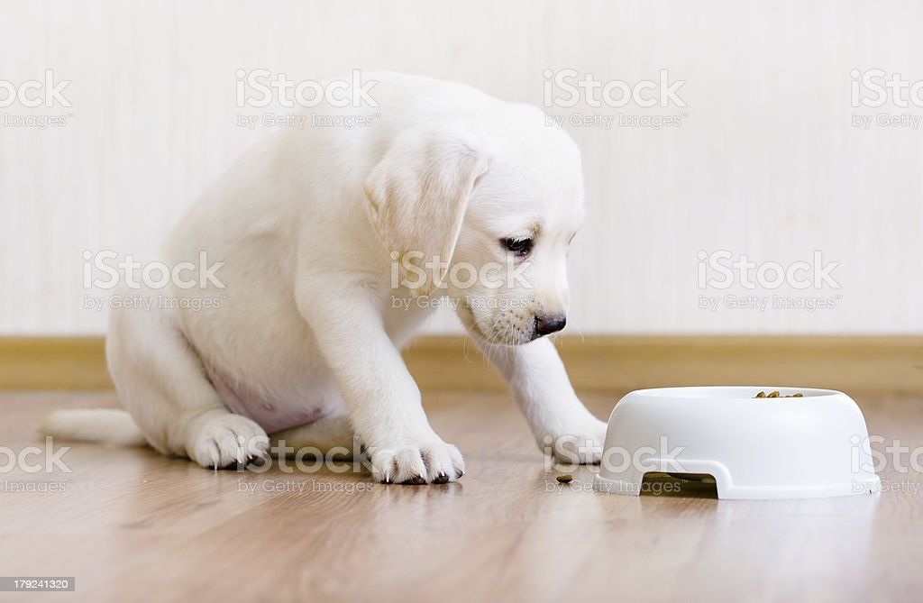 Puppy sitting near his bowl with food royalty-free stock photo