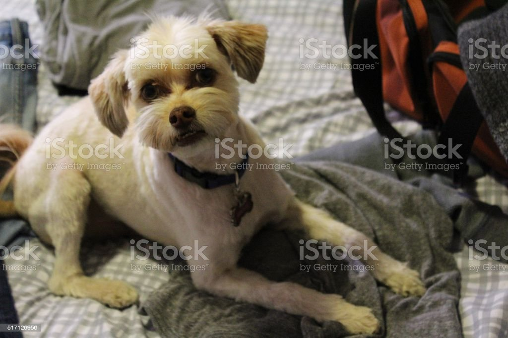 Puppy Sitting on top of Clothes While Packing stock photo