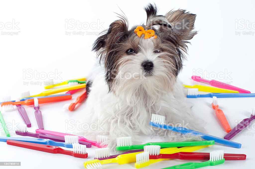 puppy sitting with colorful toothbrushes stock photo