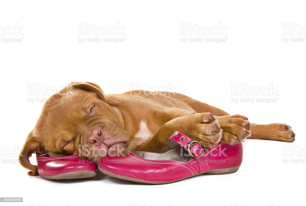 Puppy sleeping in Female Shoes royalty-free stock photo