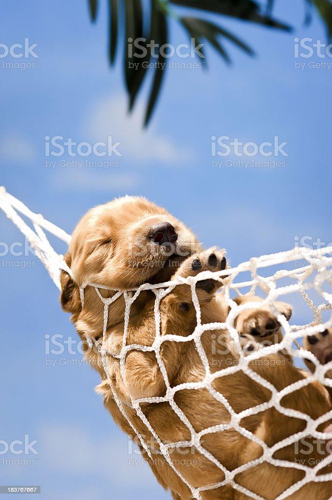Puppy sleeping in hammock stock photo