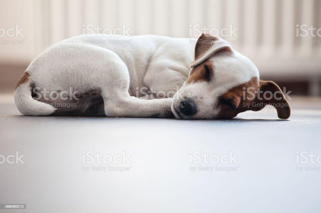 Puppy sleeping stock photo