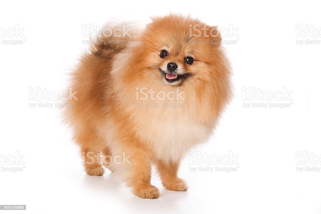 Puppy Spitz dog (isolated on white) stock photo