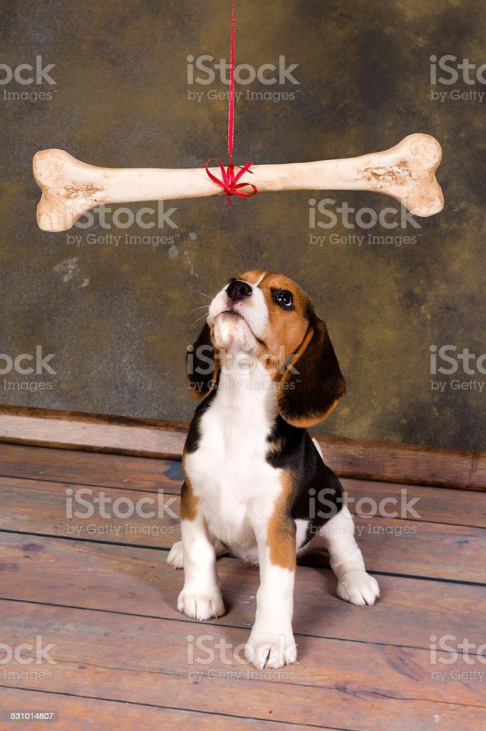 Puppy staring at bone stock photo