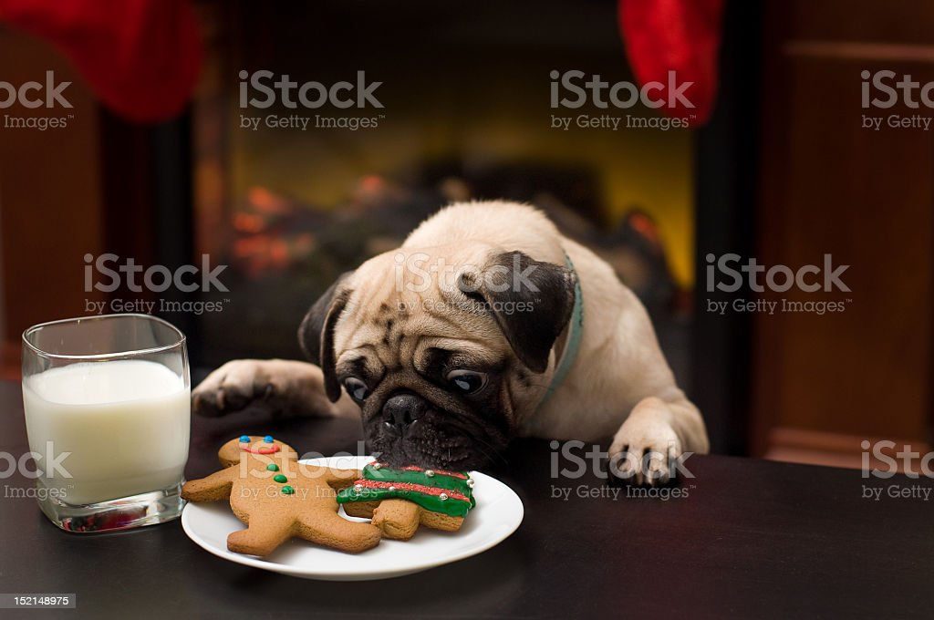 Puppy stealing christmas cookies stock photo