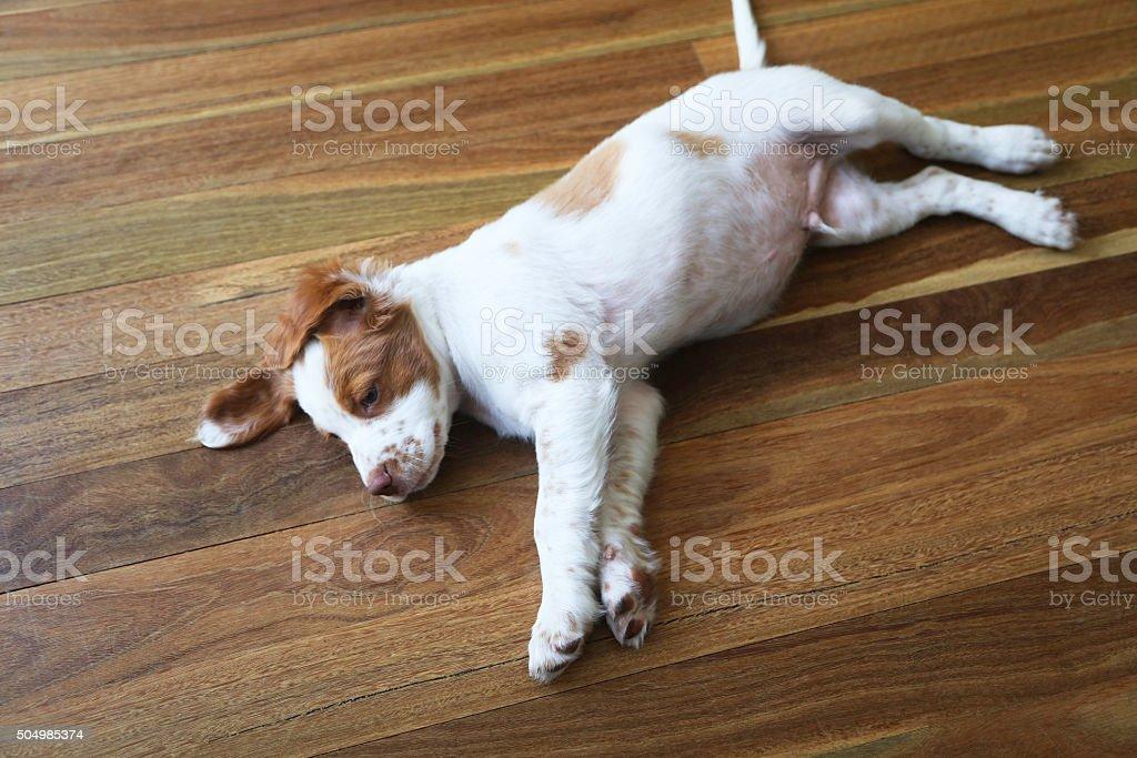 Puppy stretch stock photo