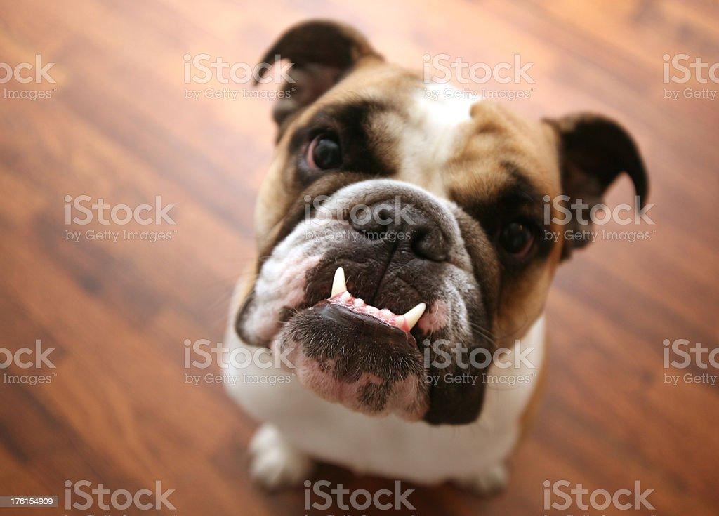 puppy teeth stock photo