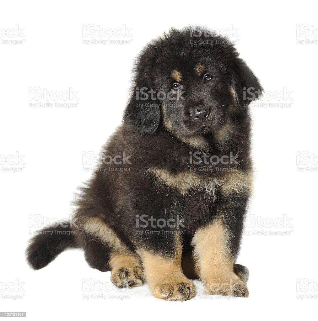 Puppy tibetan mastiff stock photo