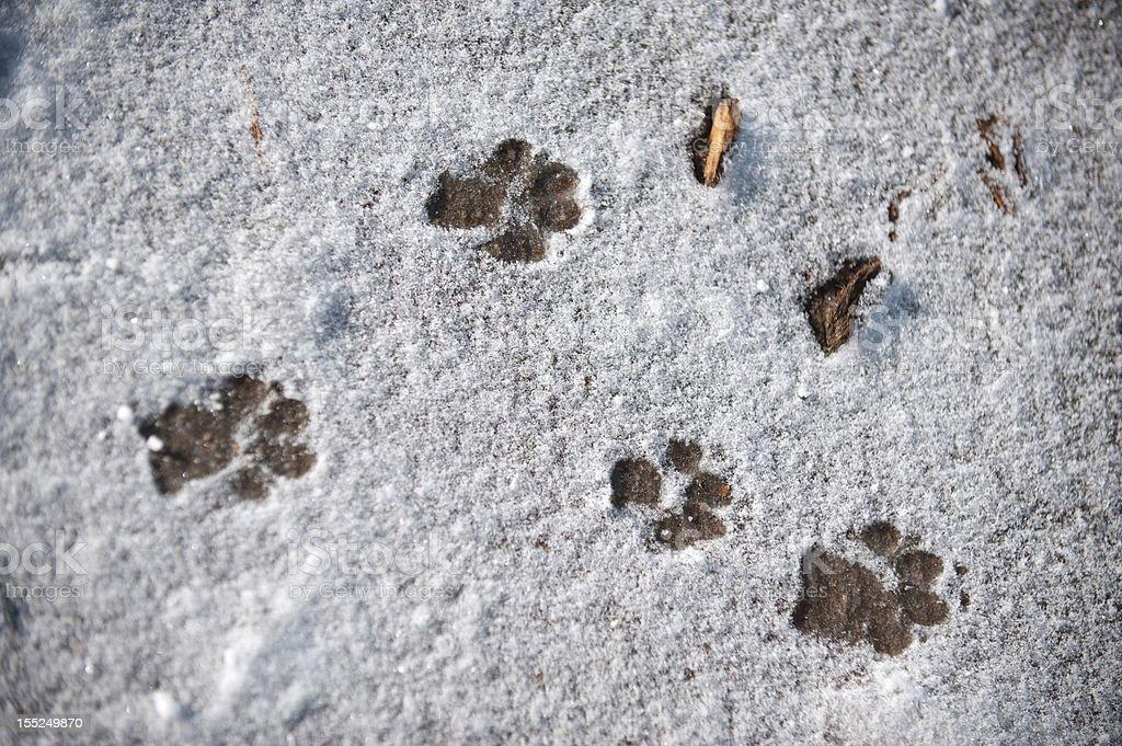 Puppy tracks (Snow) royalty-free stock photo
