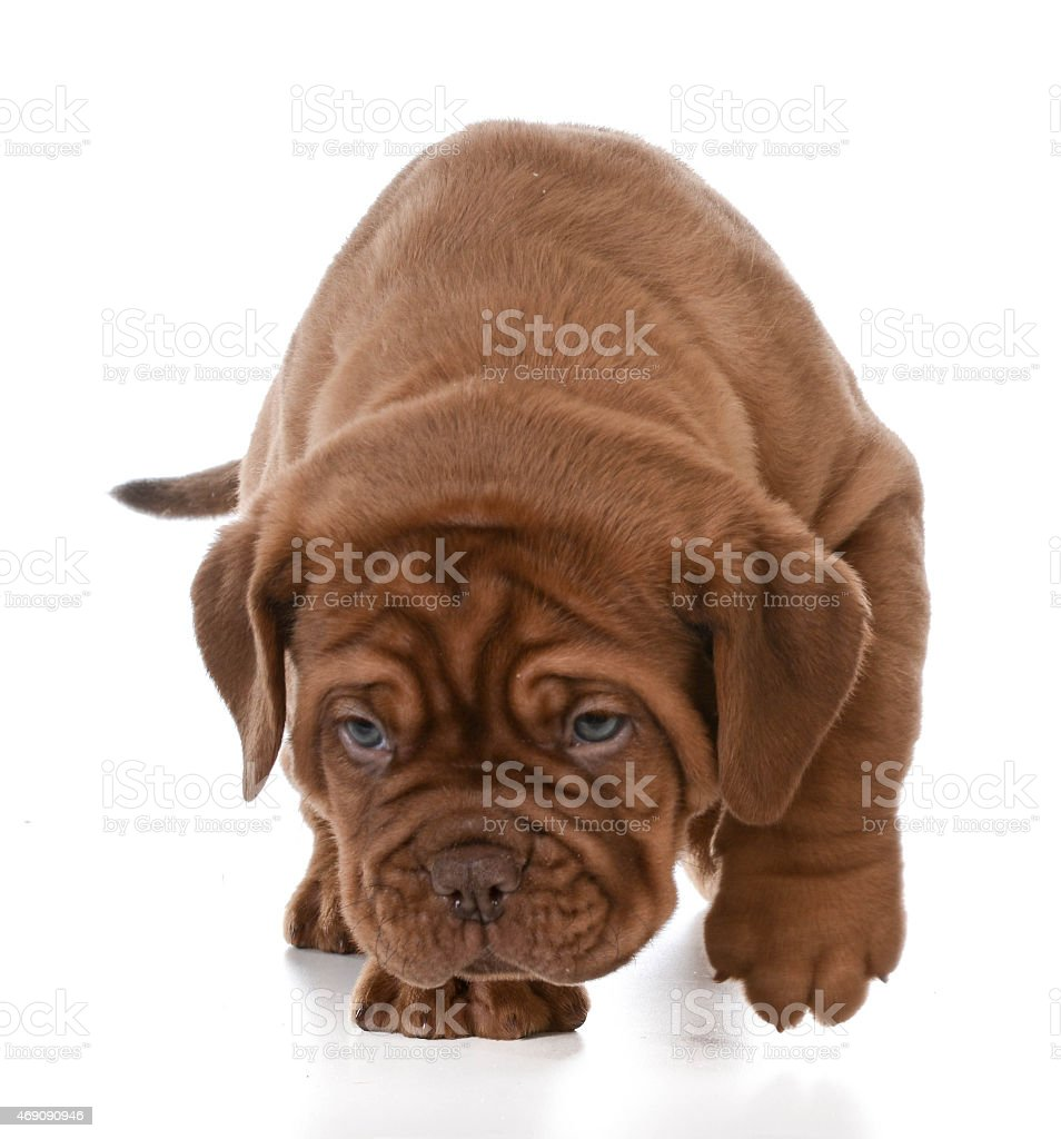 puppy walking stock photo