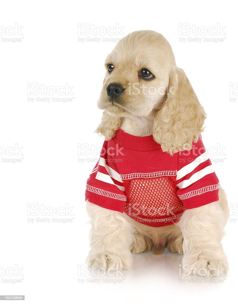puppy wearing red shirt royalty-free stock photo