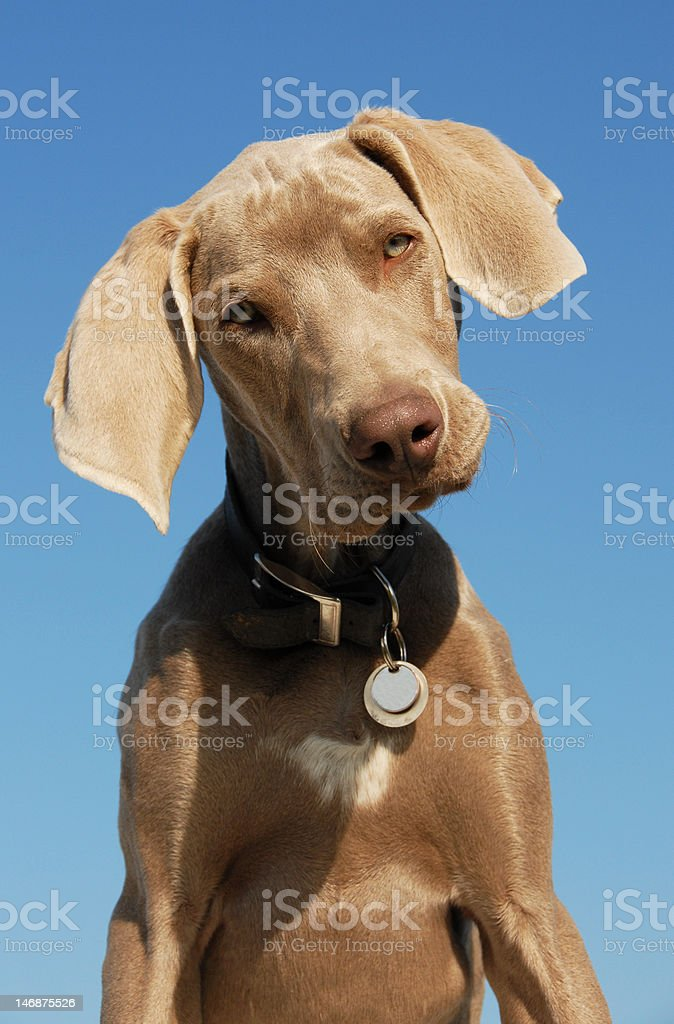 puppy weimaraner stock photo