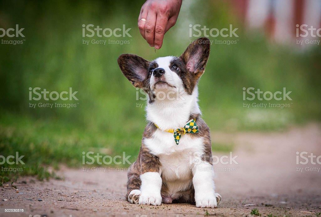 Puppy Welsh Corgi cardigan royalty-free stock photo